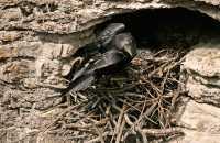 Raven Nest CM11-10