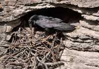 Raven Nest CM11-02