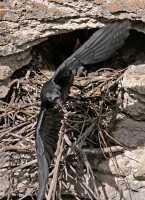 Raven Nest CM11-03