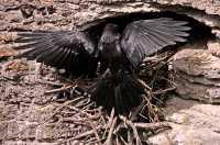 Raven Nest CM11-07