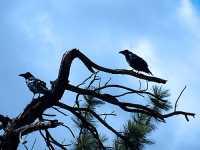 Ravens 14