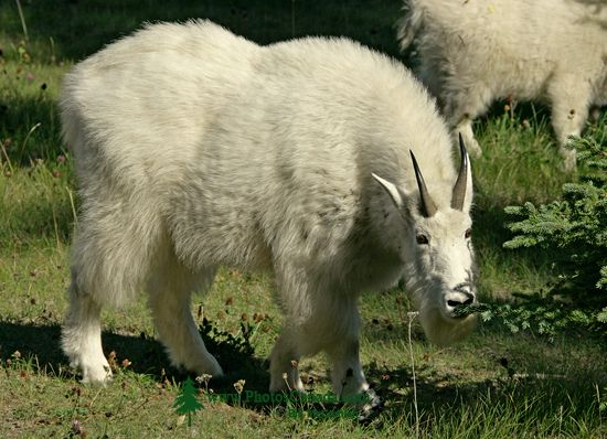 Rocky Mountain Goats, Jasper National Park 2009 CM11-002