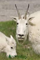 Highlight for Album: Rocky Mountain Goats Photos 2009, Jasper National Park, Canadian Wildlife Stock Photos
