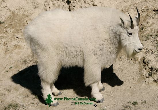 Rocky Mountain Goat, Jasper National Park 2009 CM11-008