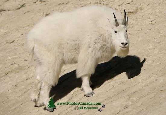 Rocky Mountain Goat, Jasper National Park 2009 CM11-009