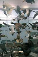 Royal Ontario Museum, (ROM), Birds Exhibit, Toronto, Ontario CM11-015
