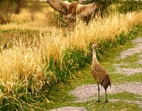 Highlight for Album: Sandhill Cranes Photos, Canadian Wildlife Stock Photos