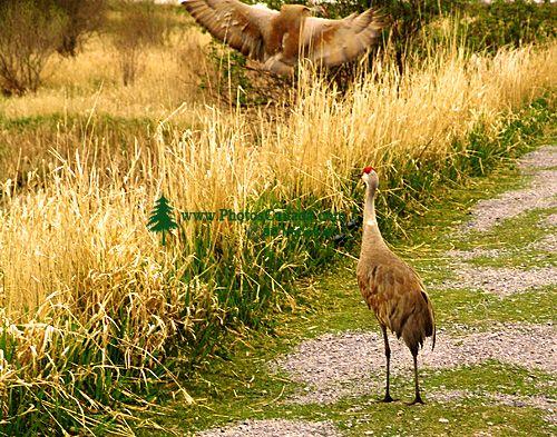 Sandhill Cranes 08