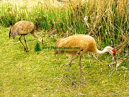 Sandhill Cranes 07