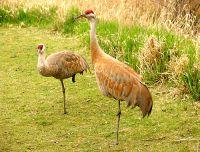 Sandhill Cranes 06