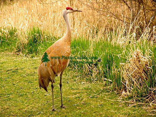Sandhill Cranes 05