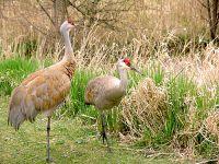 Sandhill Cranes 04