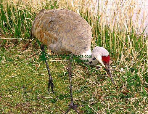Sandhill Cranes 03