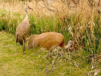 Sandhill Cranes 02