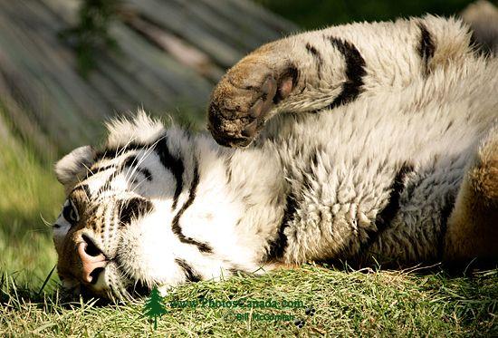 Siberian Tiger, Calgary Zoo, Alberta CM11-01