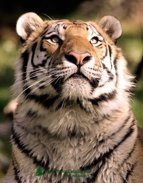 Siberian Tiger, Calgary Zoo, Alberta CM11-02