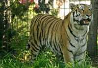 Siberian Tiger, Calgary Zoo, Alberta CM11-03