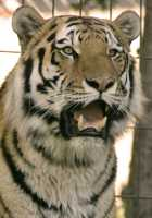 Siberian Tiger, Calgary Zoo, Alberta CM11-04