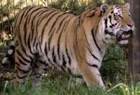 Siberian Tiger, Calgary Zoo, Alberta CM11-05