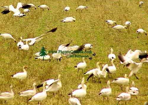 Snow Geese 03