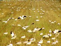 Snow Geese 02