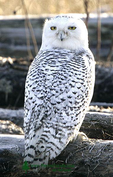 Snowy Owl, Boundary Bay, Delta, British Columbia, Canada CM11-001