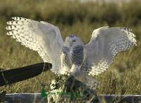 Highlight for Album: Snowy Owls, December 21, 2011, Boundary Bay, B.C - Canadian Wildlife Stock Photos