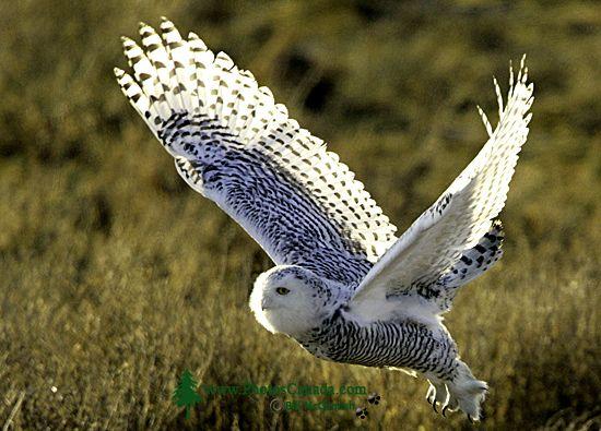 Snowy Owl, Boundary Bay, Delta, British Columbia, Canada CM11-004