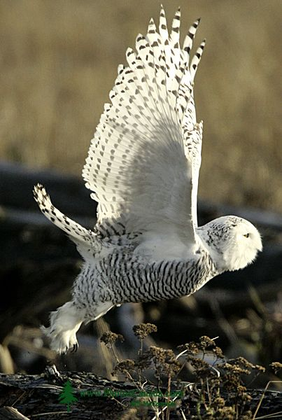 Snowy Owl, Boundary Bay, Delta, British Columbia, Canada CM11-005