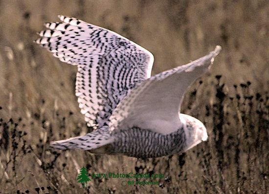 Snowy Owl, Boundary Bay, Delta, British Columbia, Canada CM11-006