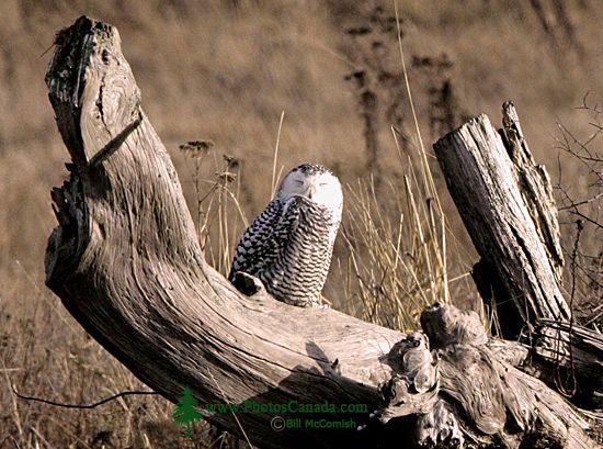 Juvenile Snowy Owl, Boundary Bay, Delta, British Columbia, Canada CM11-007