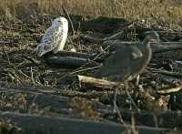 Snowy Owl, Boundary Bay, Delta, British Columbia, Canada CM11-008