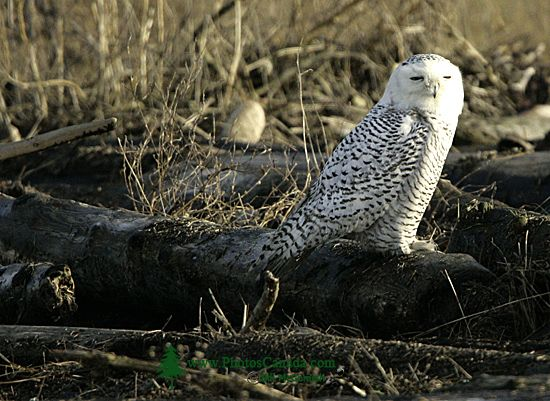 Snowy Owl, Boundary Bay, Delta, British Columbia, Canada CM11-009