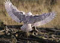 Snowy Owl, Boundary Bay, Delta, British Columbia, Canada CM11-010