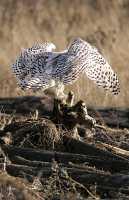 Snowy Owl, Boundary Bay, Delta, British Columbia, Canada CM11-011