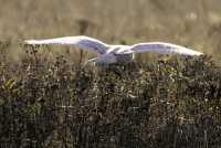 Snowy Owl, Boundary Bay, Delta, British Columbia, Canada CM11-012