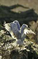Snowy Owl, Boundary Bay, Delta, British Columbia, Canada CM11-014