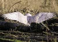 Snowy Owl, Boundary Bay, Delta, British Columbia, Canada CM11-015