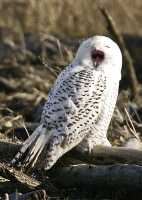 Snowy Owl, Boundary Bay, Delta, British Columbia, Canada CM11-016