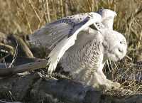 Snowy Owl, Boundary Bay, Delta, British Columbia, Canada CM11-017