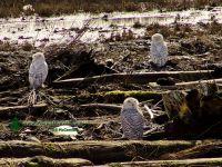 Snowy Owl 08