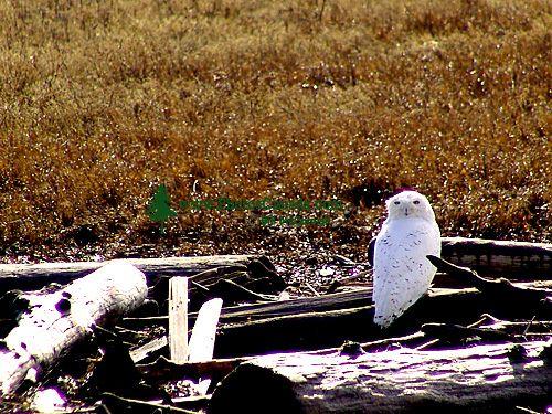 Snowy Owl 07