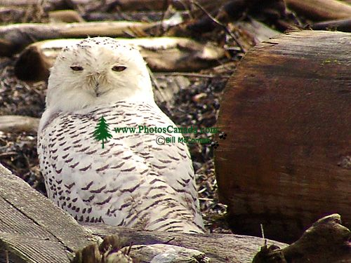 Snowy Owl 05