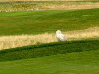 Snowy Owl 02