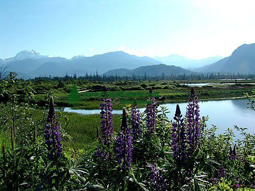 Squamish Estuary, Wildflowers, British Columbia, Canada 02
