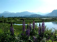 Squamish Estuary, Wildflowers, British Columbia, Canada 02