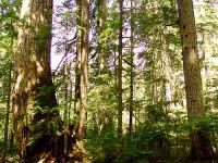 Elaho Valey, Giant Douglas Fir Tree, British Columbia, Canada   20