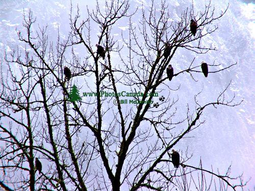 Squamish Valley, Eagles, British Columbia, Canada  04