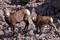 Stone Sheep and Lamb, Northern British Columbia, Canada CM11-01
