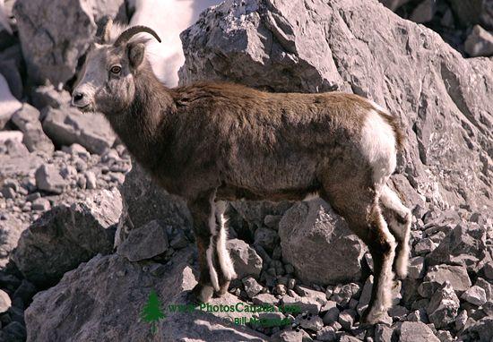 Stone Sheep, Northern British Columbia, Canada CM11-02